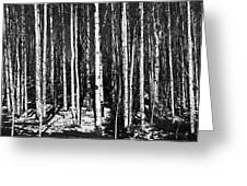 Aspen Tree Trunks Greeting Card