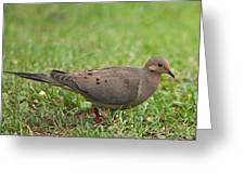 Backyard Mourning Dove  Greeting Card