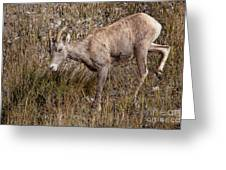 Bighorn Ewe Greeting Card