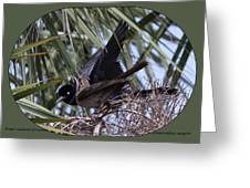 Boat-tailed Grackle - Quiscalus Major Greeting Card