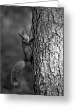 Red Squirrel In Bw Greeting Card