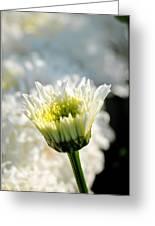 0002 Leucanthemum Cog Hill Awakening  Greeting Card