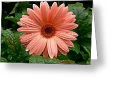04-19-09 Gerbera Daisy Greeting Card