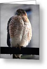 06 Falcon Greeting Card