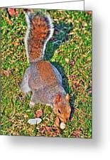 08 Grey Squirrel Sciurus Carolinensis Series Greeting Card