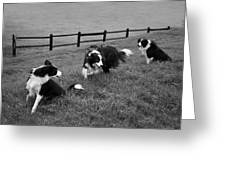 3 Collies Greeting Card by Miguel Capelo