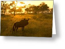 A Backlit Wildebeest Resting Greeting Card