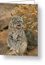 A Bobcat Greeting Card