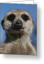 A Close View Of A Meerkat Suricata Greeting Card