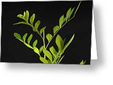 A Coffee Plant Coffea Arabica Greeting Card