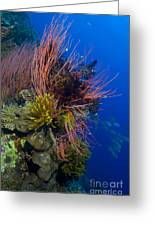 A Colony Of Red Whip Fan Corals Greeting Card