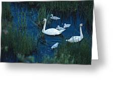 A Family Of Trumpeter Swans Swims Greeting Card