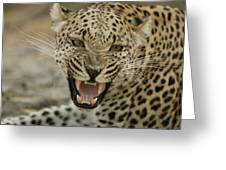 A Female Leopard, Panthera Pardus Greeting Card