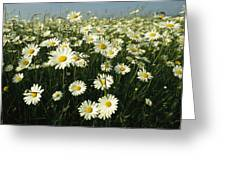 A Field Filled With Daisies In Bloom Greeting Card