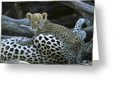 A Leopard  Cub, Panthera Pardus Greeting Card