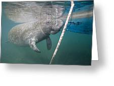 A Manatee Gets Dangerously Close Greeting Card