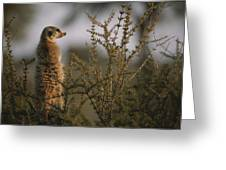 A Meerkat Suricata Suricatta Stands Greeting Card