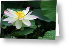 A Pink Tipped White Lotus Greeting Card