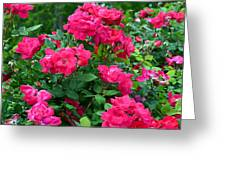 A Rose Is A Rose.... Greeting Card