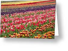 A Tulip Field Greeting Card