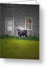 Abandoned Cow House - Barrow Bay Greeting Card