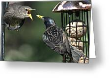 Adult Starling Feeds A Juvenile Greeting Card