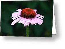 African Daisies 12 Greeting Card