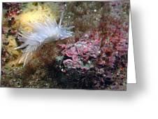 Alabaster Nudibranch Greeting Card