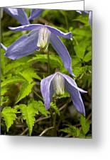 Alpine Clematis (clematis Alpina) Greeting Card