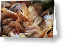 Amphipods Feeding Greeting Card