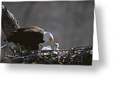 An American Bald Eagle And Chick Greeting Card