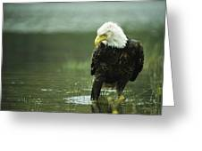 An American Bald Eagle Stares Intently Greeting Card