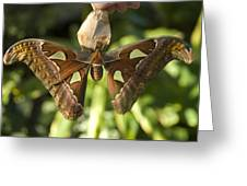 An Atlas Moth Atlas Attacus At The St Greeting Card