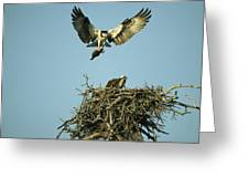 An Osprey Carrying A Fish Back Greeting Card