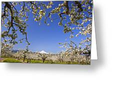 Apple Blossom Trees In Hood River Greeting Card