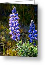Back Lit Lupine Greeting Card