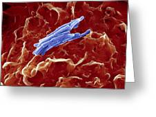 Bacteria Infecting A Macrophage, Sem Greeting Card