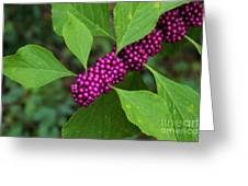 Beauty-berry Greeting Card
