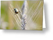 Beetle On The Wheat Greeting Card