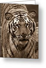 Bengal Tiger On The Prowl Greeting Card