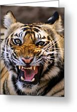 Bengal Tiger (panthera Tigris) Greeting Card