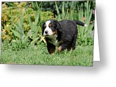 Bernese Mountain Dog Puppy Portrait Greeting Card