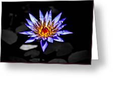 Black Pond Lilly Greeting Card