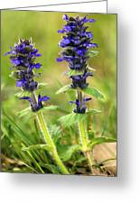 Blue Bugle (ajuga Genevensis) Greeting Card