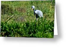 Blue Crane Greeting Card