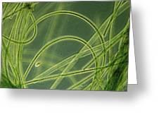 Blue-green Algae Greeting Card by Sinclair Stammers