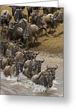 Blue Wildebeest Connochaetes Taurinus Greeting Card