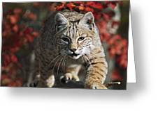 Bobcat Felis Rufus Walks Along Branch Greeting Card by David Ponton