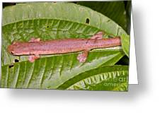 Bolitoglossine Salamander Greeting Card