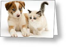Border Collie And Birman-cross Kitten Greeting Card